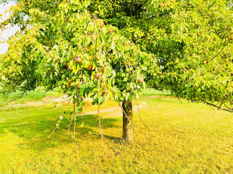 51 pear tree