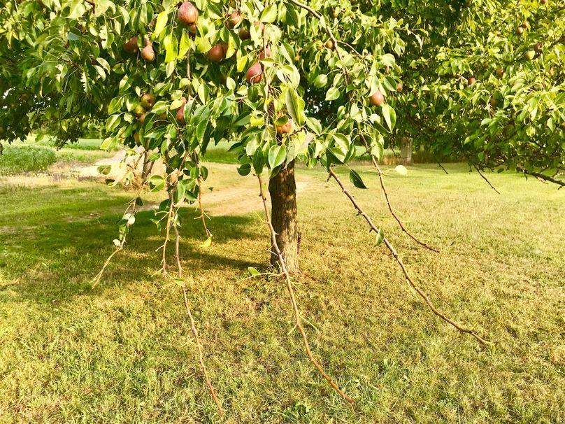 52 pear tree