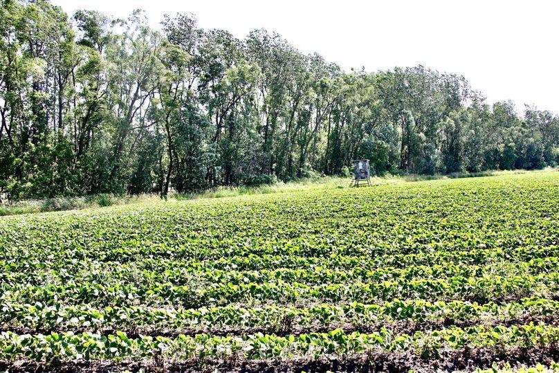 Pic 17 soybean food plot