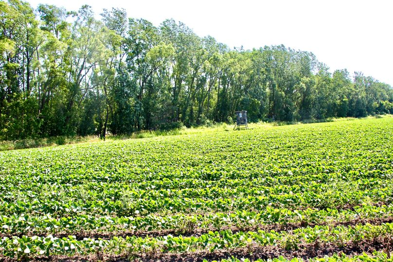 Pic 2 soybean food plot