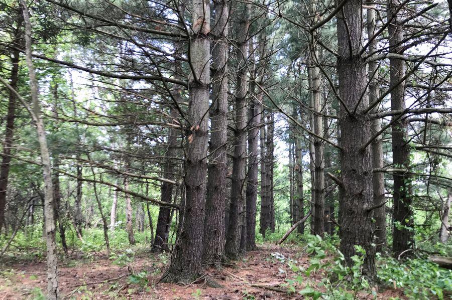 11 pines