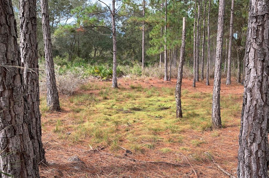 29. pine