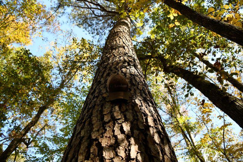 (5)mature pine