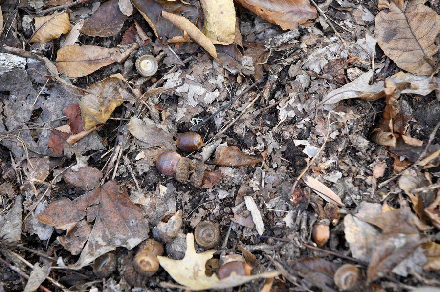 (9) acorns