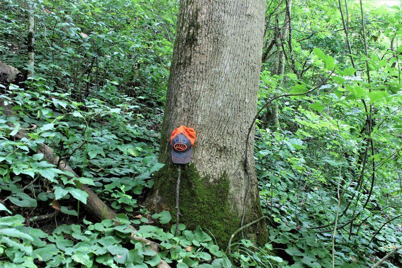 003 huge mature poplar along the south boundary