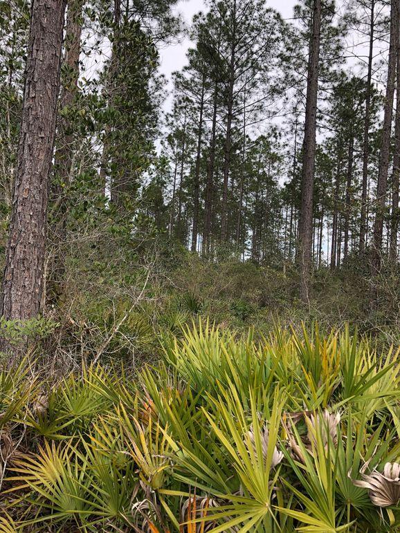 17. pine woods