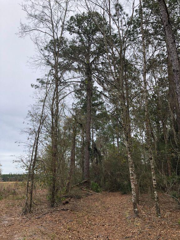 18. large pine