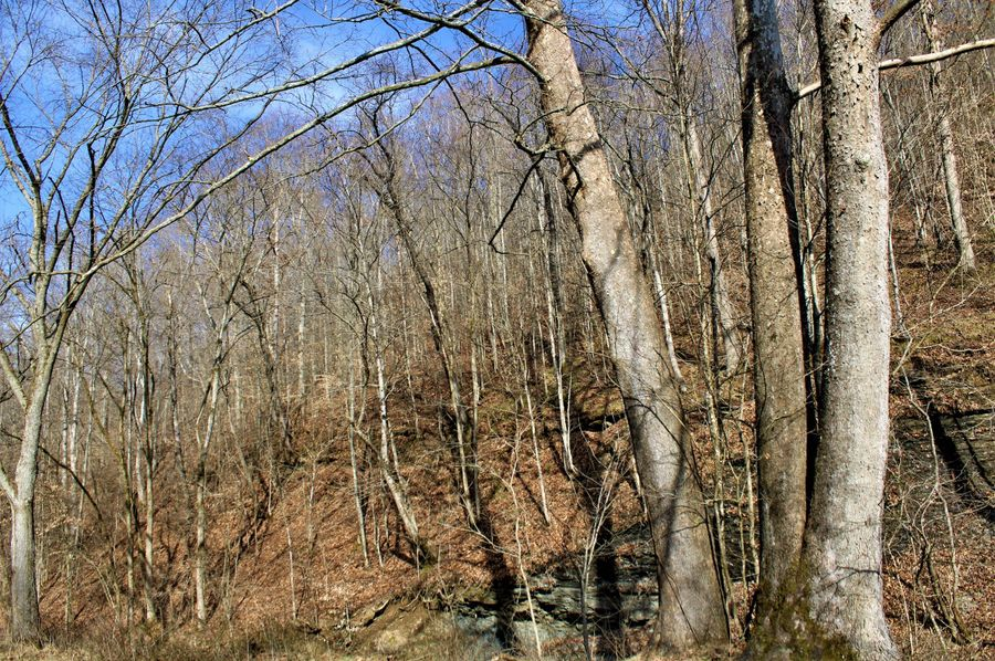 032 a trio of giant sycamore s along the creeks edge at the southern end of the property