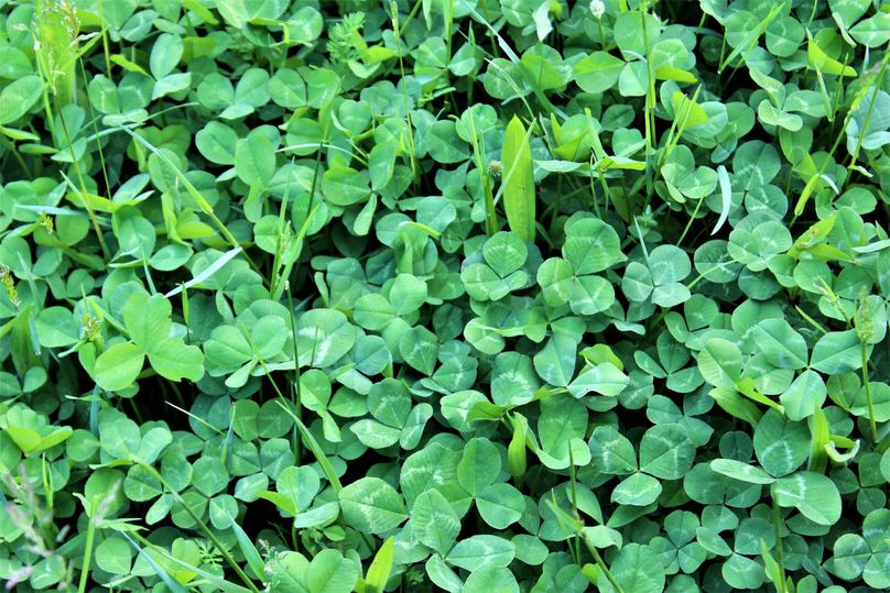 011 beautiful stand of white clover in the pasture area