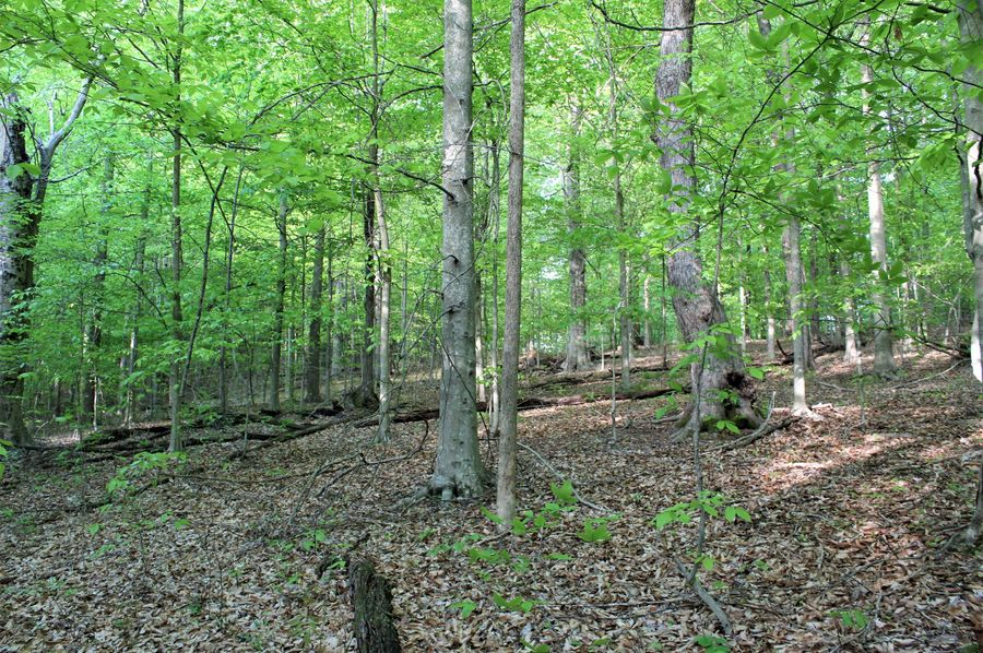 032 beautiful open forest area with nice american beech trees