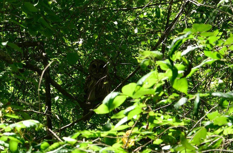 (14)owl