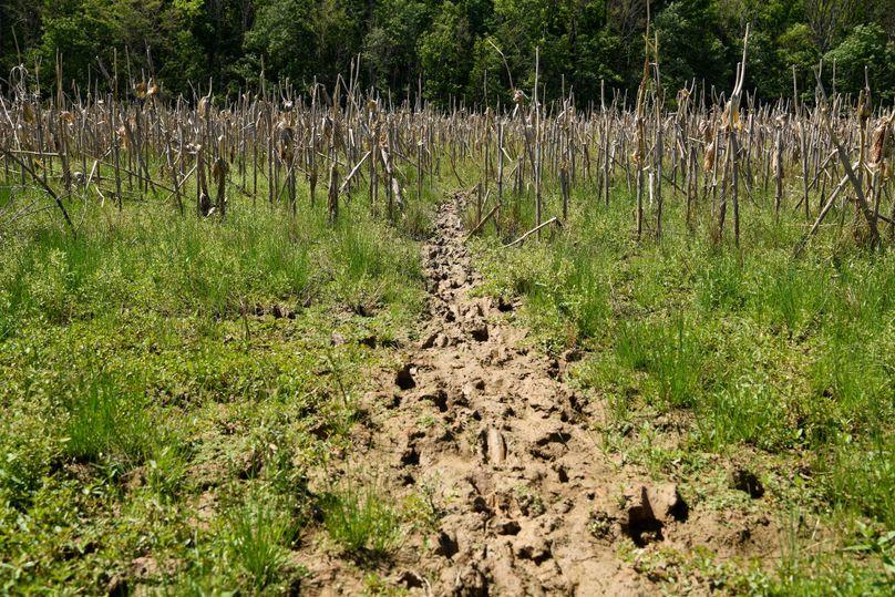 (3)deer trail in corn