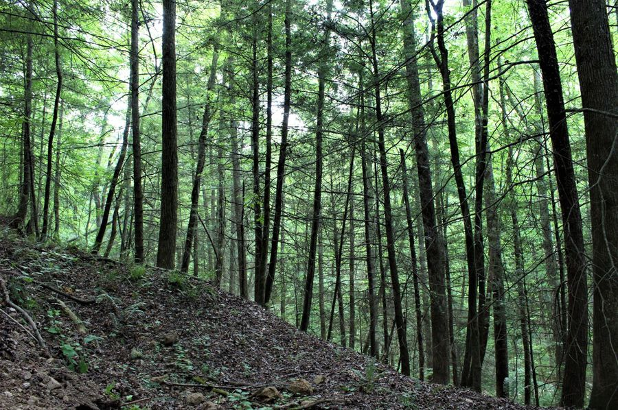 006 the stands of hemlock down along the creek at the northeast boundary