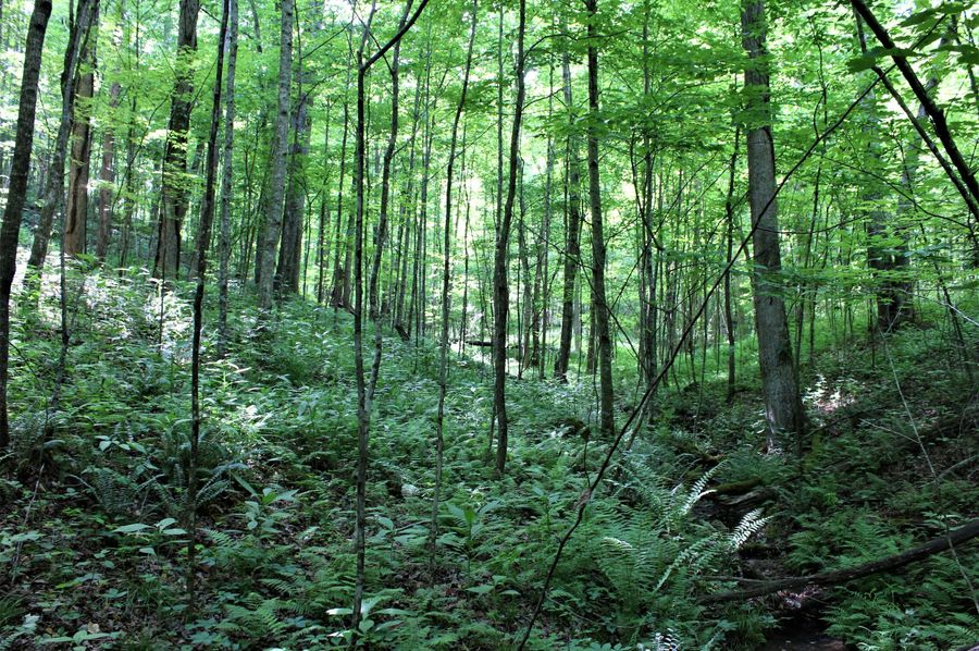 023 beautiful fern covered forest floor in the western portion of the property