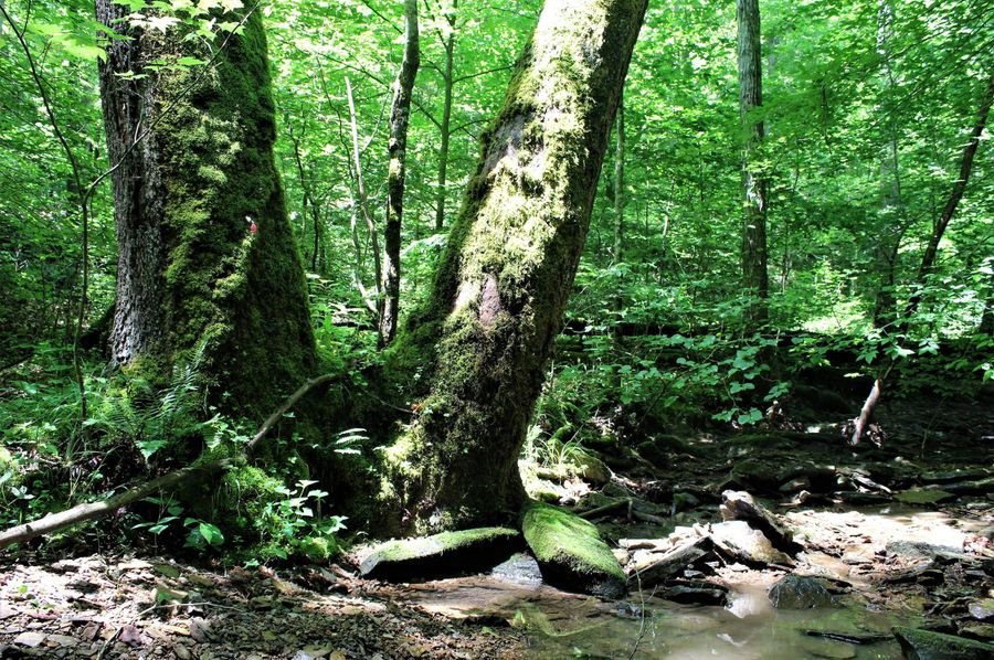 029 large split sycamore tree along the creek in the north central part of the property