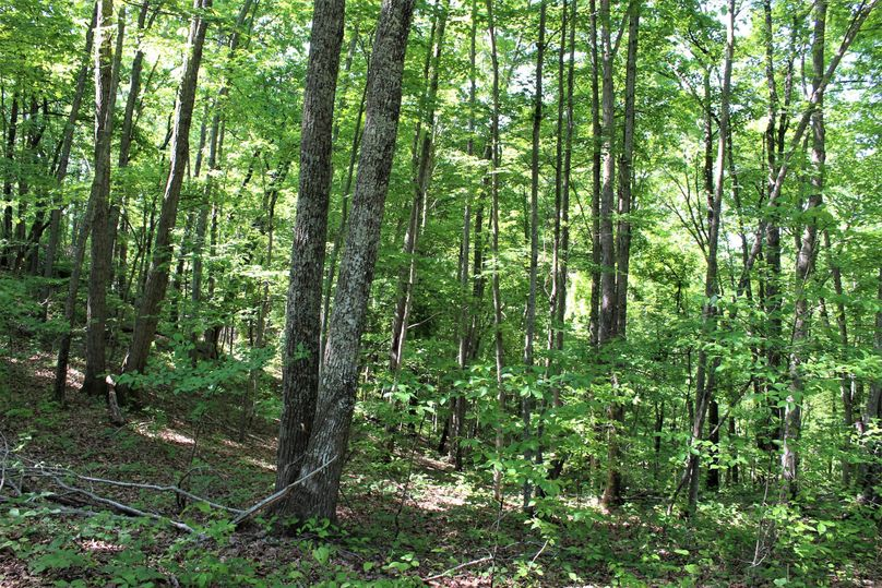 019 nice stand of chestnut oak along a ridgetop south facing slope