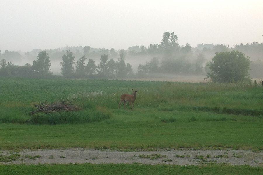 Buck early summer schaefer farm