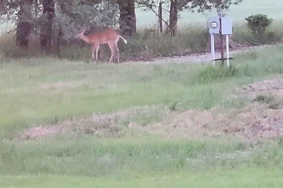 Deer on 14 acre parcel schaefer farm