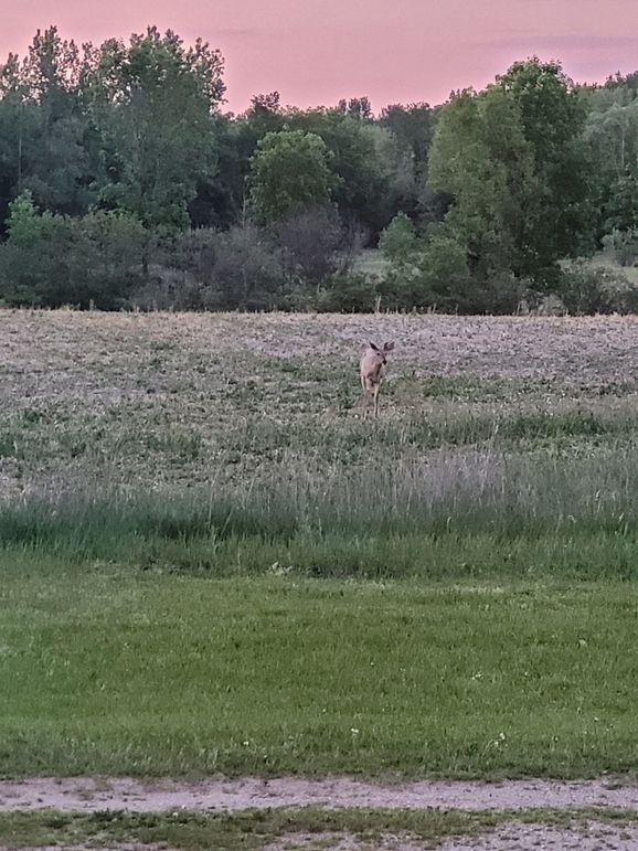 Deer schaefer farm