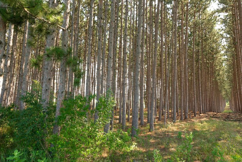 34 red pines could provide income