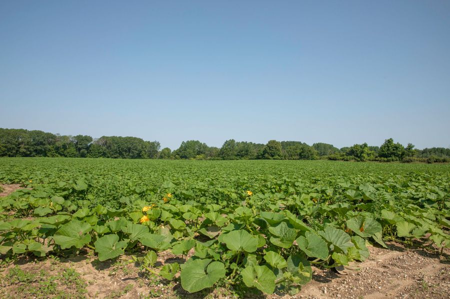 33 squash planted on the north 40 acres