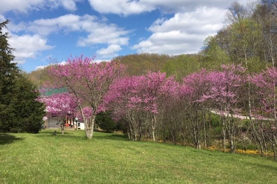 011b beautiful redbuds blooming in the spring