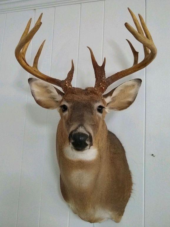 29 deer mount 4