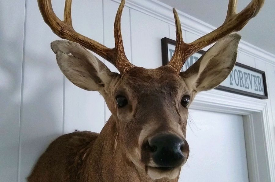 32 deer mount 3