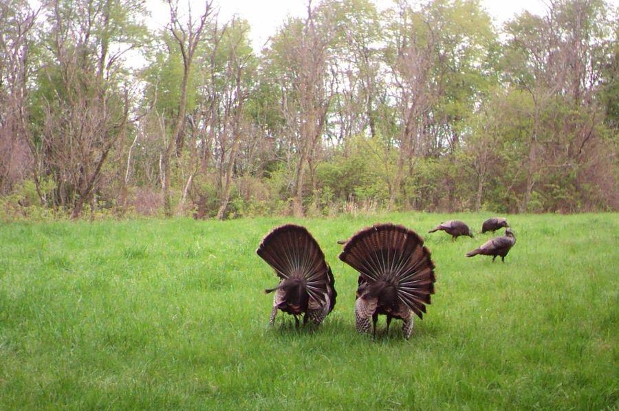 Dittmer turkey 2