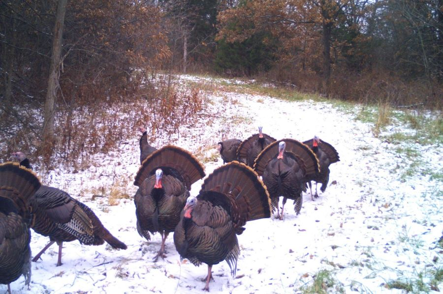Dittmer turkeys