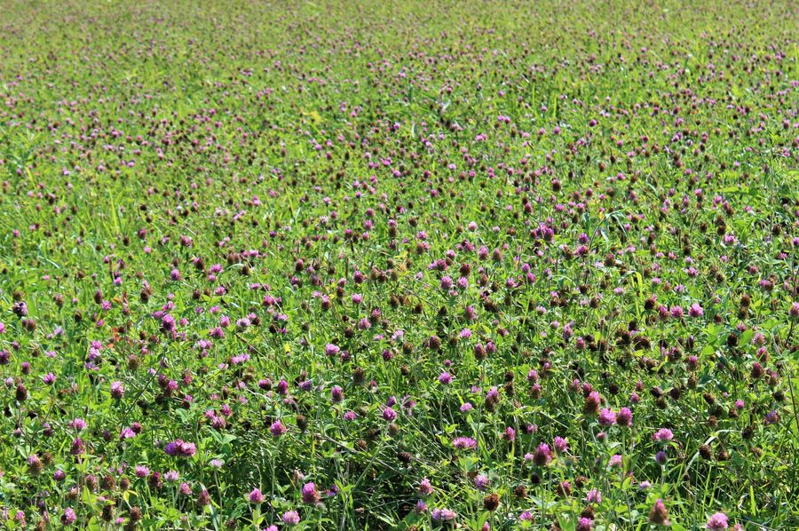 011 lush red clover perfect for cutting hay or pasture ground