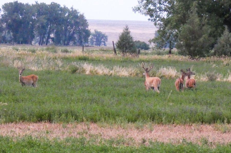 Deerbuck