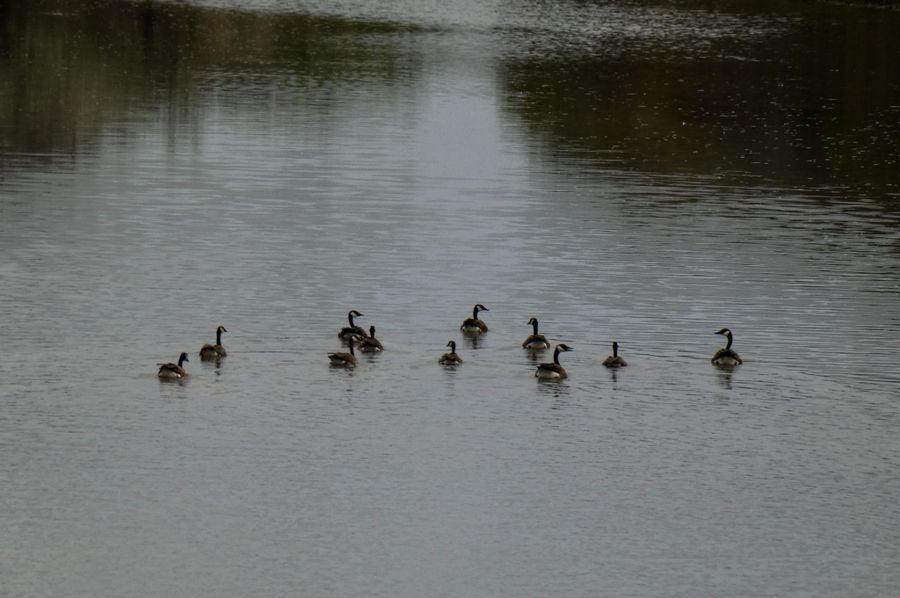 Rivergeeseswimming