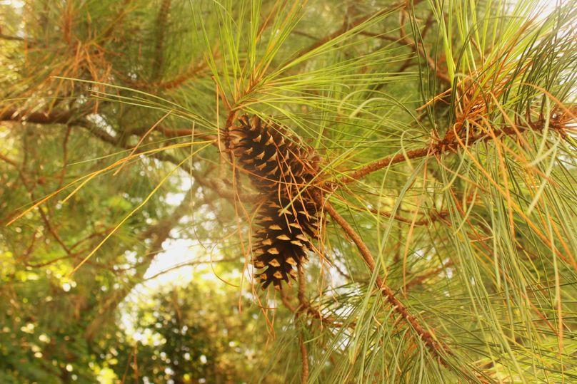 5.02ac queenanne pine 2731
