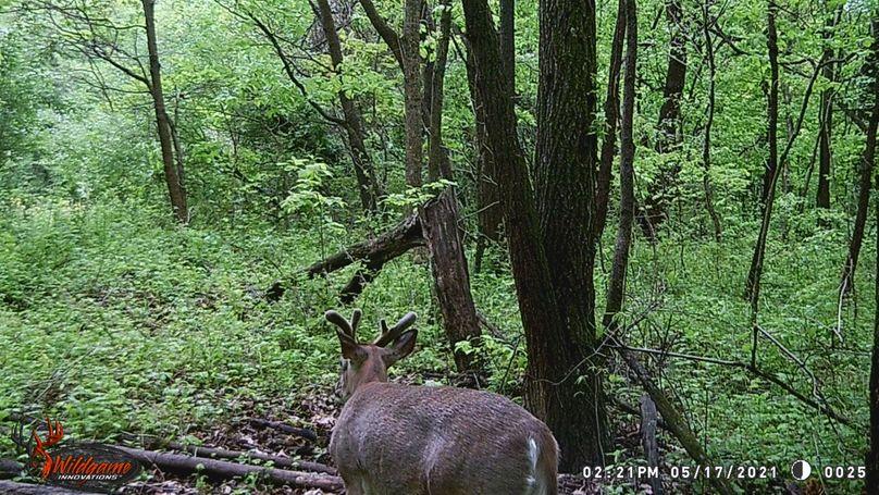 Buck.5 21.3