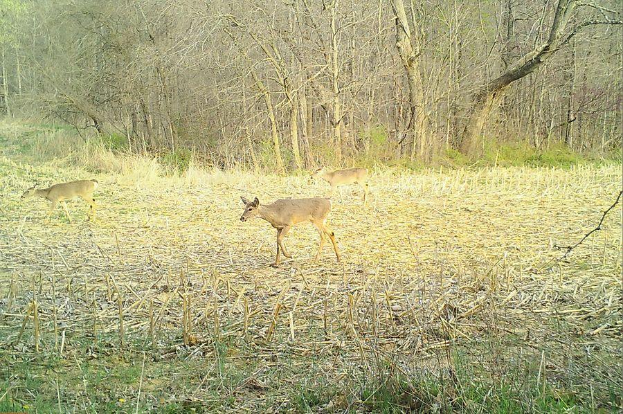 Deer.4 21.4