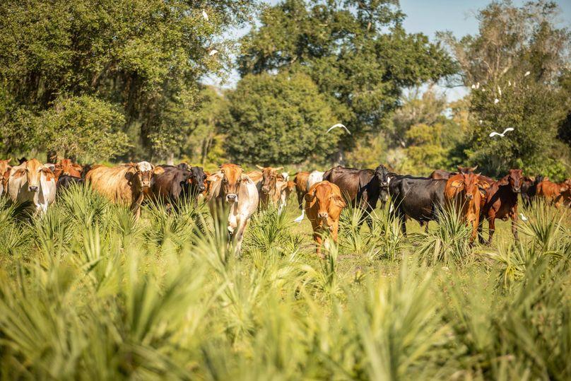 20 ranch 2 z cows